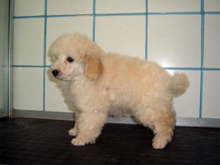 Le foto dei cuccioli di beagle barboncino basset hound for Barboncino nano toy