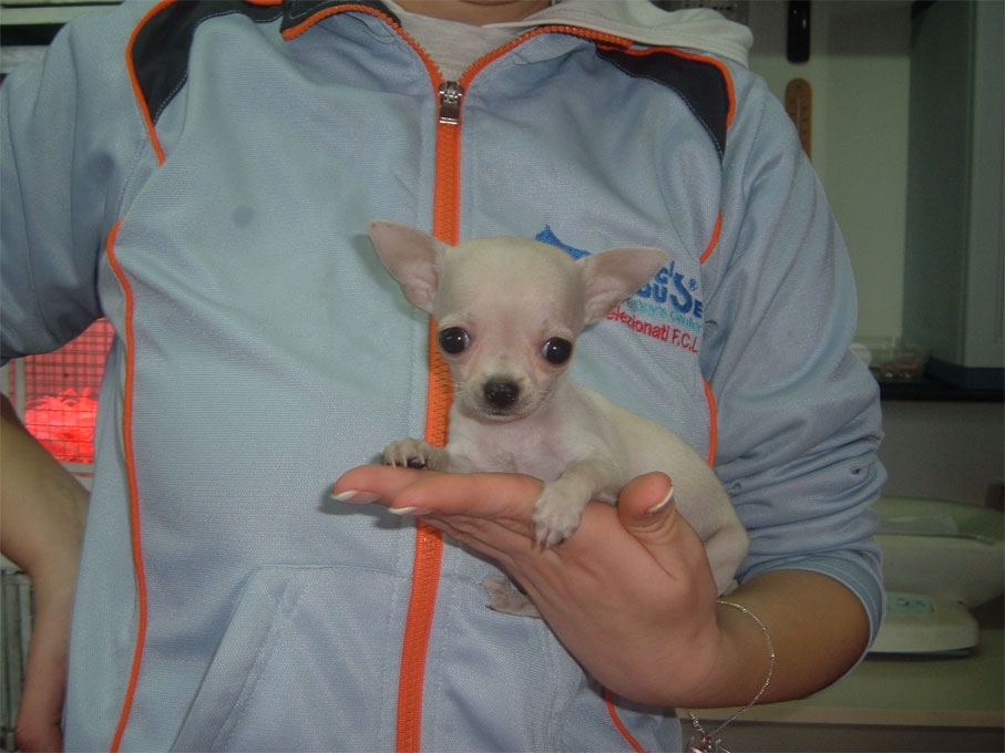 Le Foto Dei Cuccioli Di Chihuahua E Chow Chow Selezionati Per Voi Da