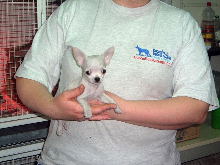 chihuahua toy maschio bianco