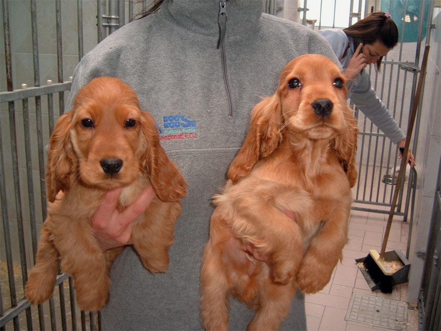 Le Foto Dei Cuccioli Di Cocker Americani Dogue De Bordeaux E Fox