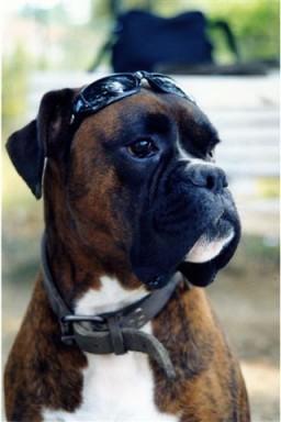 Boxer-Tigrato-Erik3