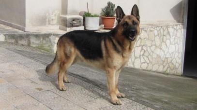 Ares  Pastore Tedeso di 5 anni     IMG_0465