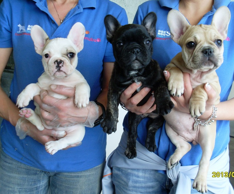 Bouledogue francese dog 39 s house dog 39 s caring association for Bouledogue francese