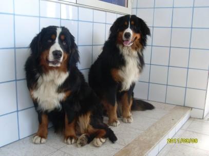 Bovari bernesi coppia Teo e Kira  (1)