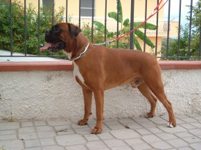 Boxer 2 anni - Rolly 004