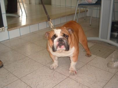 Cesare un Bull Dog maschio 2 anni 002