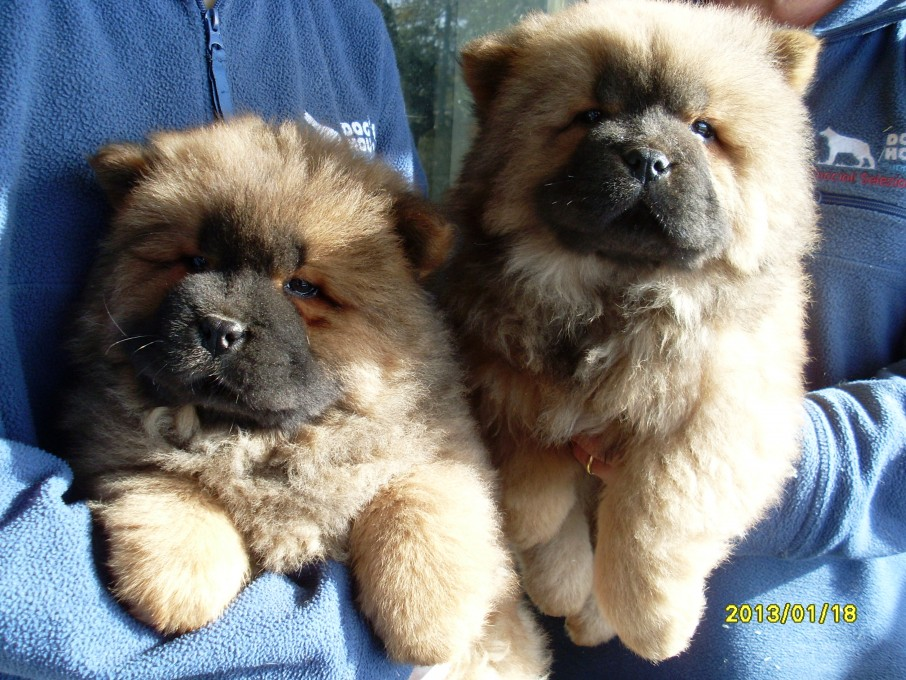 Chow Chow | Dog's House Puppy's Center