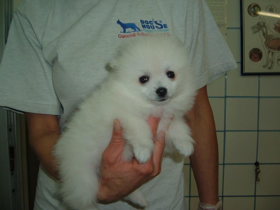 Spitz nano dog 39 s house dog 39 s caring association - Spitz toy prezzo ...