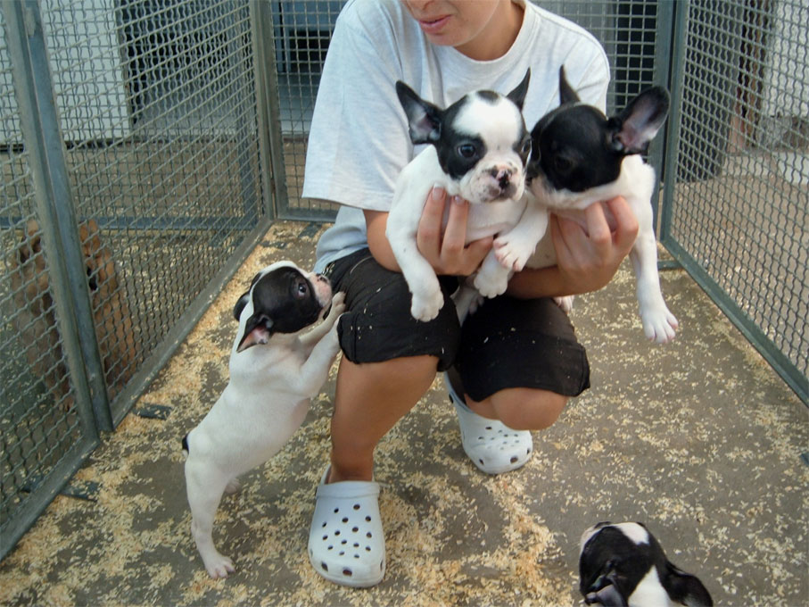 Bouledogue francese | Dog's House Puppy's Center