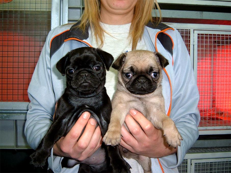 Carlino | Dog's House & Dog's Caring Association