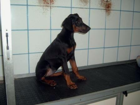 Dobermann di 4 mesi