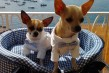 Miele e Tommy  a Positano (3)