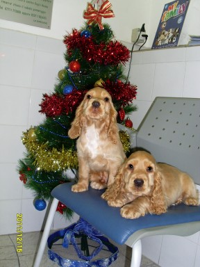 Cocker alla Dog's House a Natale  2011 (8)