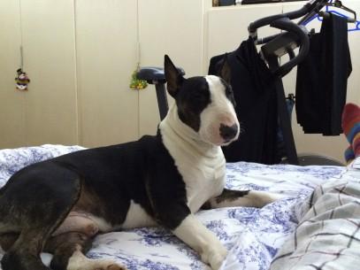 Tao  Bull Terrier  2 anni (2) sul letto