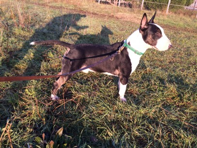 Tao  Bull Terrier  2 anni (3)  in posa