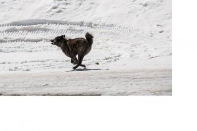Kuma sulla neve  che corre(1)